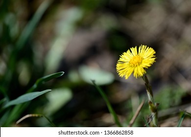 Bright coltsfoot flower (Tussilago Farfara) in spring forest on a sunny day