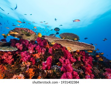 Bright coral reef scene of pink Thistle soft corals and Plate coral,  with some small fish swimming around