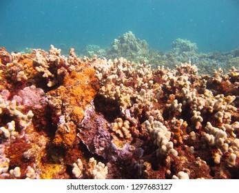 Bright corals grow off the shore of Molokai