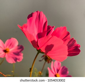 Bright cosmos flowers against gray background