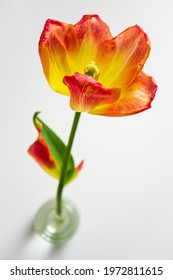 bright creative tulip flower on white background
