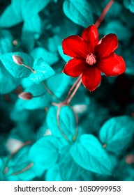 Bright crimson red large clematis flower on a background of foliage in garden close-up macro . Toned in blue, colorful artistic image nature.
