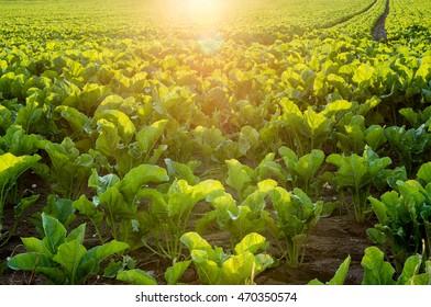 bright crop field of sugar beet in sunset light