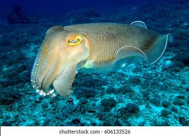 Bright Cuttlefish swimming