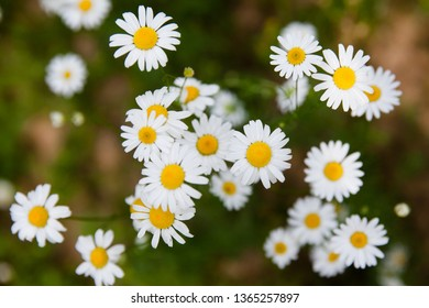 Bright daisies,top view.