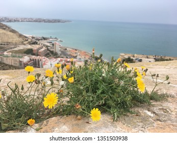 Bright dandellion flowers with green leaves on the stone. Panoramic view of the city and the sea. Оvercast Alicante in Spain.