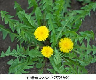 Bright dandellion flowers with green leaves over organic soil background