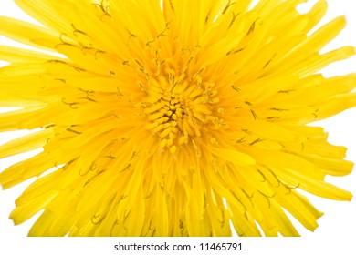 bright dandilion flower macro on white background