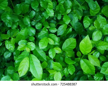 Bright and dark green dense leaf branch tree bush background, selective focus