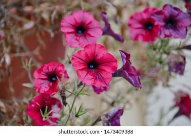 Bright dark pink petunia flowers under autumn rain. Colorful petunia flower