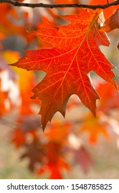 Bright dark-red leaf of oak-tree swaying by wind on autumn sunny day