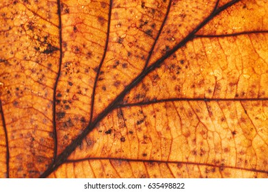Bright dry autumn leaf close-up. Autumn leaf in backlight