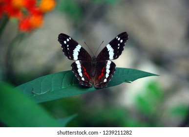 Bright exotic tropical butterfly (mariposa) with dark brown, white and red colored wings sitting on bright green leaf, Honduras