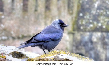 Bright Eyed Jackdaw on Castle Wall