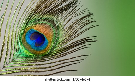 Bright feather of a peacock on a white background