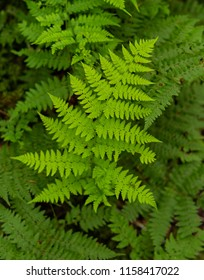 Bright Fern Leaves on Thick Forest Floor in Smokies