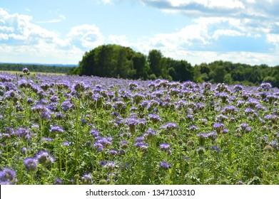 Bright field of purple flowers
