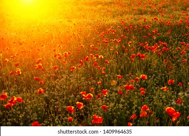 bright fiery poppy field in the rays of the sunset.