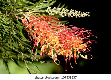 Bright flower and buds of an Australian native Grevillea