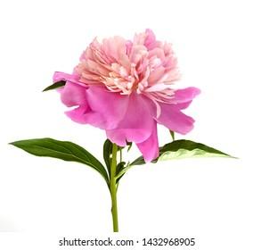 Bright flower peony, portrait, isolated on white background.