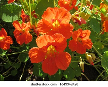Bright flowers of blooming orange nasturtium on a background of greenery in a summer garden
