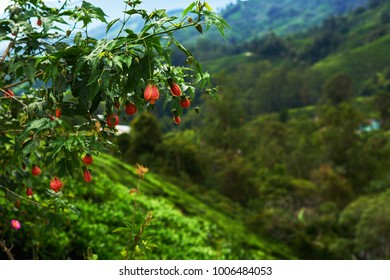 Bright flowers and buds of tropical flowering plants. Shrub or small tree. Beautiful branch with leaves and bright flowers on the blurred background. Floral background. Close up branch in soft focus.