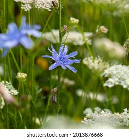Bright flowers of chicory on the background of the summer landscape.