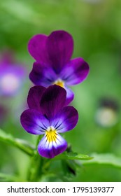 Bright flowers of violets in the garden against the backdrop of greenery.