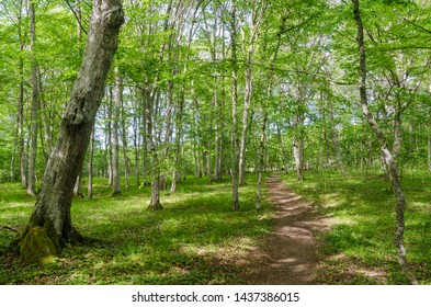 Bright footpath in a deciduous forest with hornbeam trees by summer season in the swedish nature reserve Halltorps Hage on the island Oland