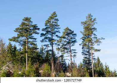 Bright forest with beautiful growing tall pine trees