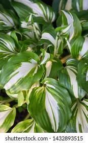 Bright fresh green and white leaves of hosta (Hosta undulata). Hosta - an ornamental plant for landscaping park and garden design