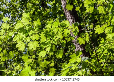 Bright fresh nature green leaves in park background