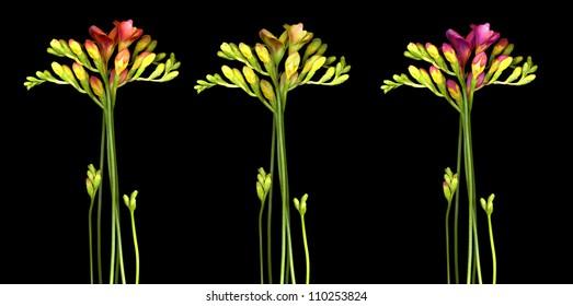 bright fressia flowers on black