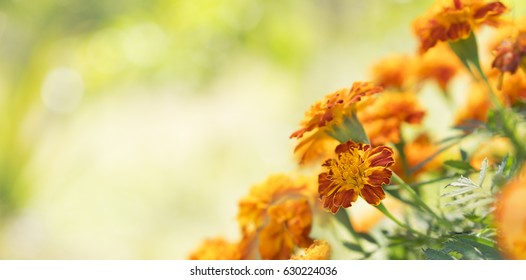 Bright golden calendula marigolds for greeting card background for condolence, funeral, love, care and remembrance and Mexican tradition