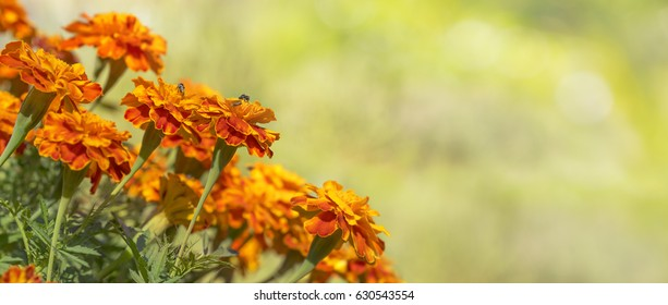 Bright golden calendula marigolds for greeting card background for condolence, funeral, love, care and remembrance