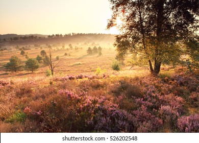 bright golden sunrise over hills with heather flower, Germany