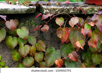 bright grape leaves on a stone wall