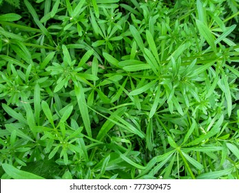 Bright green abstract floral background from the cleavers. Beautiful emerald sticky creeping plant stickeljack close-up