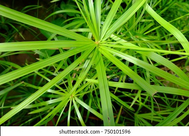 "The bright green background of ""cyperus flabelliformis Rottb "" leaves."