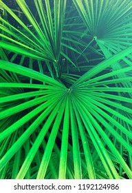 Bright green background texture of tropical palm leaves