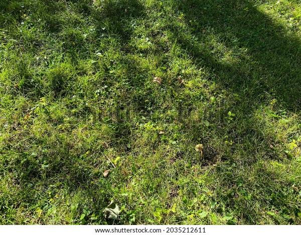 bright green backyard grass lawn with tree shadows