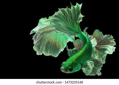 "Bright green betta fish ""Fancy Halfmoon Betta"" The moving moment beautiful of Siamese Fighting fish in Thailand. Betta splendens (Pla-kad), Rhythmic of Betta fish isolated on black background."