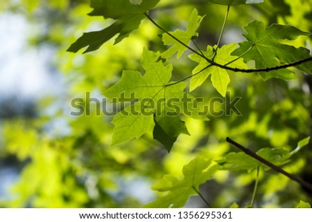 Bright Green Bigleaf Maple Acer Macrophyllum Stock Photo Edit Now