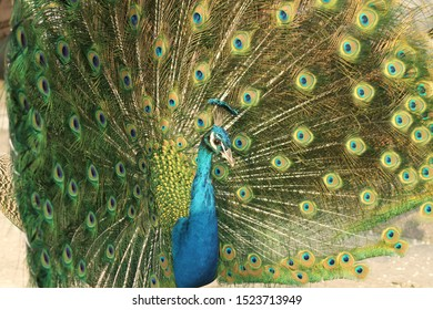 The bright green and blue plumage and the feathers of a male majestic peacock shining glittering in the sunlight 11