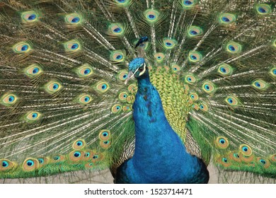 The bright green and blue plumage and the feathers of a male majestic peacock shining glittering in the sunlight 12