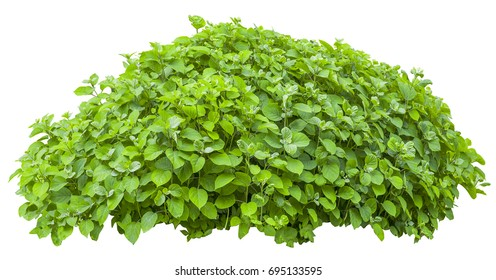 Bright green bush isolated on white background