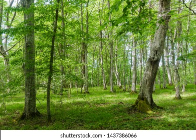 Bright green deciduous forest with hornbeam trees by spring season in the swedish nature reserve Halltorps Hage on the island Oland