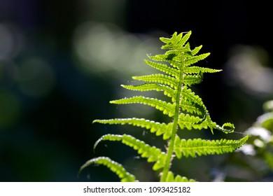Bright green fern leaf in sunlight, shallow depth of field