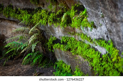 Bright green ferns cling to underside of cliff face in the Blue Mountains, New South Wales, Australia.
