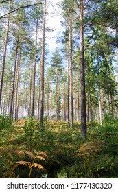 Bright and green forest with tall pine trees